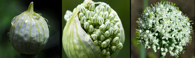 allium-cepa-homeopathy